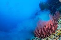 Spawning Barrel Sponge <br /> <br /> Shot in Indonesia