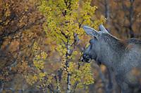 Elk, (Alces alces) forollhogna national park , norway, september,