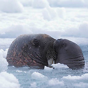 Walrus, (Odobenus rosmarus) Mother and baby in waters off Baffin Island kissing. Canada.