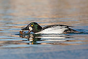 Stock Photo of common goldeneye captured in Colorado.  When flying, their rapid wingbeats produce a whistling sound.  Hunters often call these ducks whistlers.