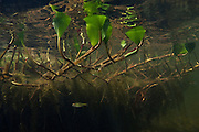 Aquatic Vegetation<br /> Grasspond<br /> Rewa Amerindian Village<br /> GUYANA<br /> South America