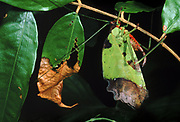 Broad-winged Katydid camourflaged amoung leaves<br />