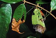 Broad-winged Katydid camourflaged amoung leaves<br />Microcertrum rhombifolium<br />Amazon Rain Forest,  ECUADOR. South America