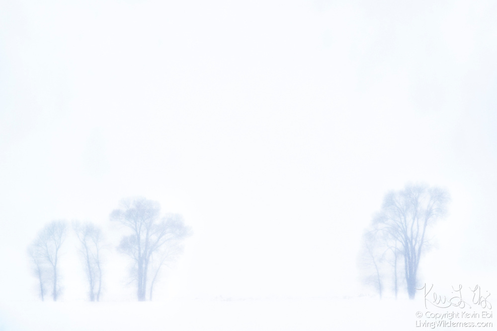 Bare winter trees are visible through heavy snowfall near Gros Ventre in Grand Teton National Park, Wyoming.