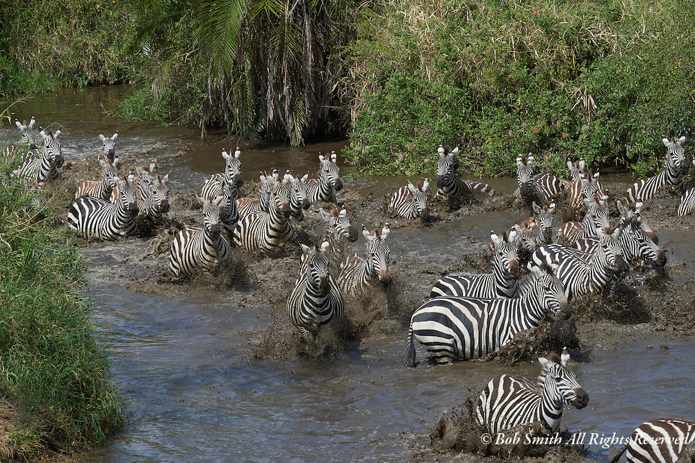 zebra group at watering hole