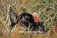 """00845-051.16 """"Rio Grande"""" Wild Turkey (Meleagris gallopavo) male gobbler strutting,  Starr Co.  TX"""