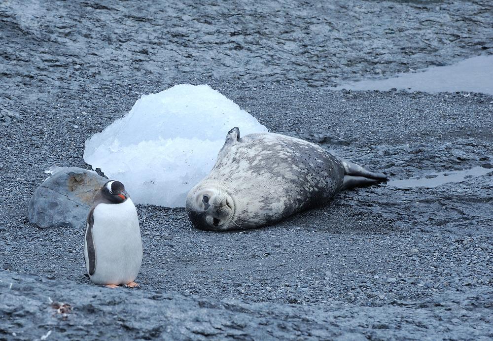 A Weddell Seal (Leptonychotes weddellii) lies on a stoney beach while gentoo penguins (Pygoscelis papua) walk past.  Gourdin Island, Antarctic Peninsula, Antarctica. 01Mar16