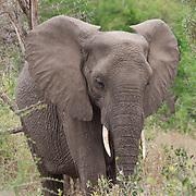 African elephant,  MalaMala Game Reserve. South Africa.