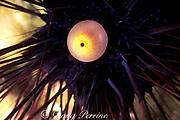 ectoproct or anal sac of black spiny <br /> sea urchin, Gato Island Marine Reserve, <br /> near Malapascua Island, Cebu, Philippines