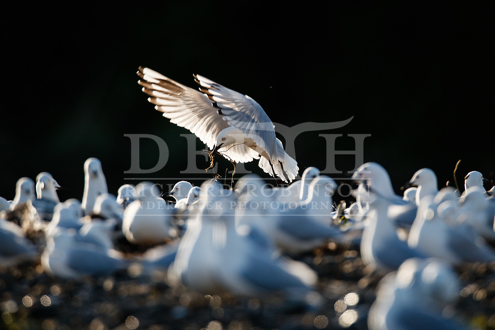 Black-billed gull (Larus bulleri) colony, also known as Tarapuka on the Oreti River, near Lumsden, Southland, New Zealand.<br /> Tuesday 02 October 2018.<br /> Photograph Richard Robinson © 2018<br /> No Reproduction without prior written permission.