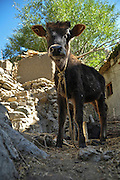 India, Jammu and Kashmir, Ladakh, Leh a young calf