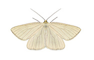 70.291 (1966)<br /> Black-veined Moth - Siona lineata