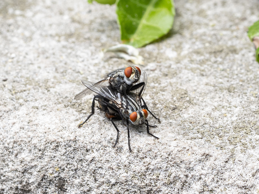 Flesh Flies (Sarcophagidae) in the Conservatory Garden in Central Park today May 24, 2021.