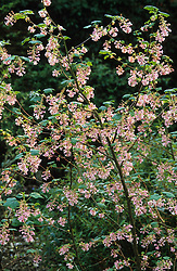 Ribes sanguineum 'Porky Pink' - Flowering currant