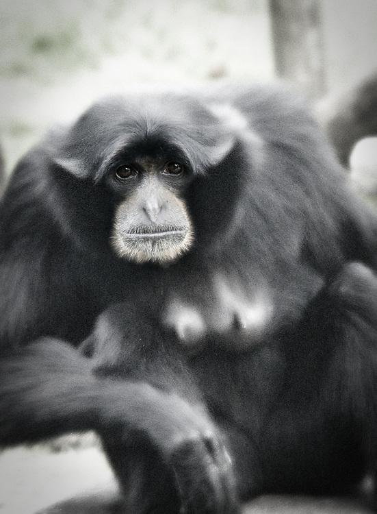 Fota Wildlife park female monkey staring at you