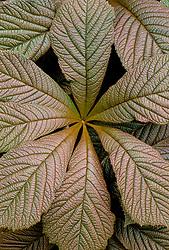 Leaf of Rodgersia aesculifolia