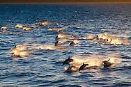 A joyful pod of dolphins swimming in the Sea of Cortez, Baja California, Mexico