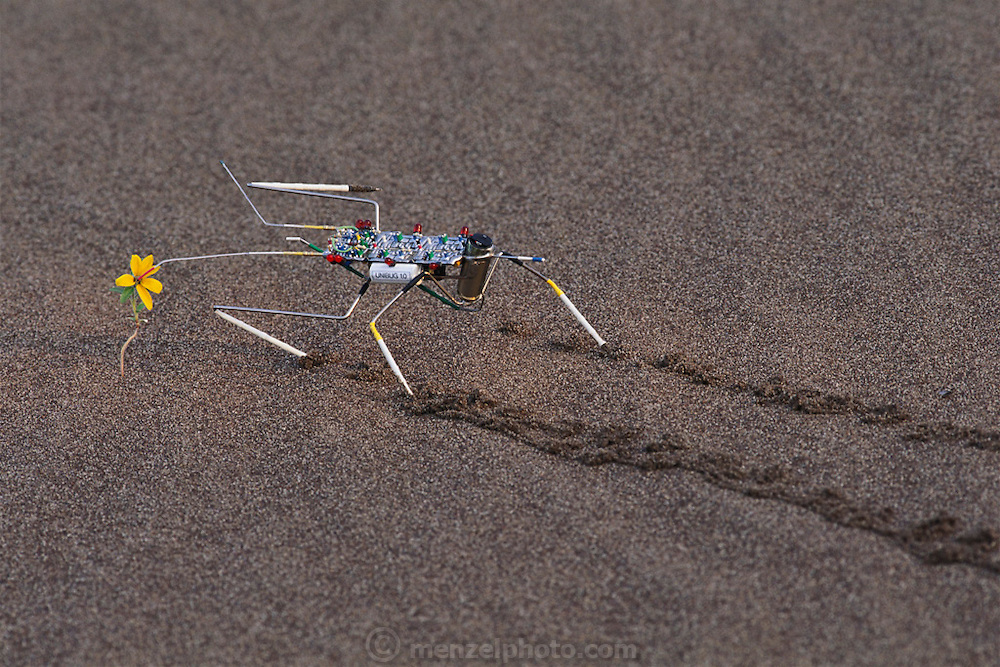 """Mark Tilden's robot: the analog nervous net- """"Unibug 1.0"""" walking on the great Sand Dunes National Monument  in Colorado. Amazingly, the autonomous robot walked up to the flower and stopped exactly with it's antenna in the center of the flower which had just bloomed after a recent rain. Robo sapiens Project."""
