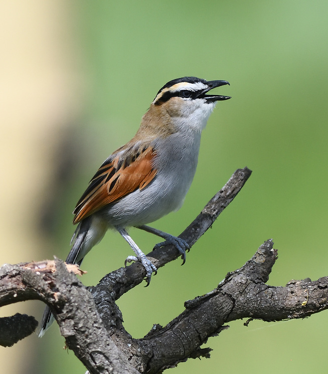 A male black-crowned tchagra (Tchagra senegalus)  singing on a dead tree branch. Arusha National Park. Arusha, Tanzania.