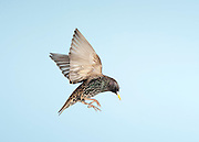Starling, Sturnus Vulgaris, UK, in flight, flying, high speed photographic technique, garden, blue sky background, cut out