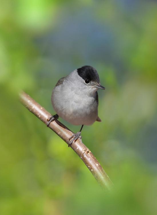 Blackcap - Sylvia atricapilla