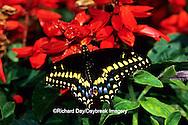 03009-00915 Black Swallowtail (Papilio polyxenes) on Red Hot Sally Salvia (Salvia splendens)  Marion Co.  IL