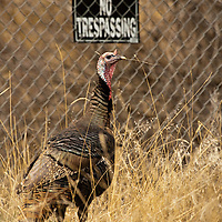A stout Wild Turkey Tom Gobbler poses before a chain-link fence with a No Trespassing sign in Montana.
