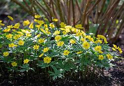 Anemone ranunculoides 'Pleniflora' AGM