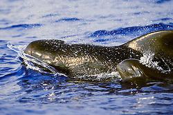 short-finned pilot whales, Globicephala macrorhynchus, mother and calf, lunging at twilight, Kona Coast, Big Island, Hawaii, USA, Pacific Ocean