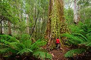 Australia; Australian,  Tasmania; Central Highlands; Mount Field National Park; Giant old growth Eucalyptus tree