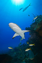 Caribbean Reef Sharks, Carcharhinus perezi, swimming over coral reef ledges with yellowtail snappers, Ocyurus chrysurus, West End, Grand Bahama, Atlantic Ocean.