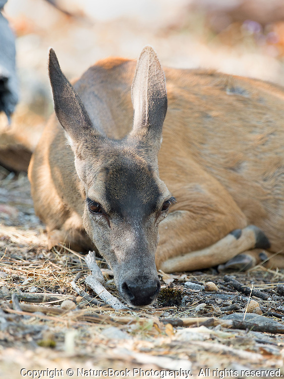 A doe in Yosemite National Park lays down to rest after munching on plants for the past thirty minutes.
