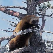 Wolverine, (Gulo gulo) Adult In Bridger mountains. Winter.  Captive Animal.