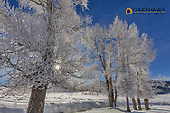 Frosted cottonwood trees along Rose Creek on frigid day in the Lamar Valley in Yellowstone National Park, Wyoming, USA