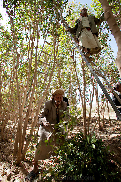 Men use a network of ladders to pick qat from tall qat trees in an orchard outside Sanaa, Yemen. (From the book What I Eat: Around the World in 80 Diets.)