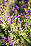 Lavender plant flowers close up