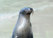 A sleek wet Galápagos sea lion (Zalophus wollebaeki) emerges from the sea on the sandy beach at Puerto Villamil. Nictitating membranes cover its eyes. Puerto Villamil, Isabela, Galapagos, Ecuador