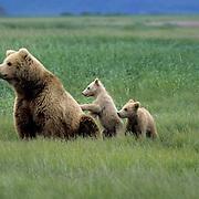 Alaskan Brown Bear, (Ursus middendorffi) Mother sitting with cubs in grass, one cub standing up against mothers back, Katmai National Park. Alaska