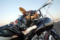 """Mar 26, 2003; Newport Beach, CA, USA; Two year old KIA BRUCE, a short legged, tri-colored smooth coat Jack Russell Terrior K-9 dog rides on her owners Harley. Kia has her own goggles, Harley riders vest and safety chain on the bike. Owner Rene Bruce got this 9.5"""" tall terrior in Aguanga, CA in May 2001. Kia has her own website showcasing her agility ribbons and special events. Kiapet.com."""