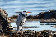 Grey Heron in a natural habitat, sitting in the shoreside and looking for food | Gråhegre i sitt naturlige habitat, sitter i fjøra og ser etter mat.