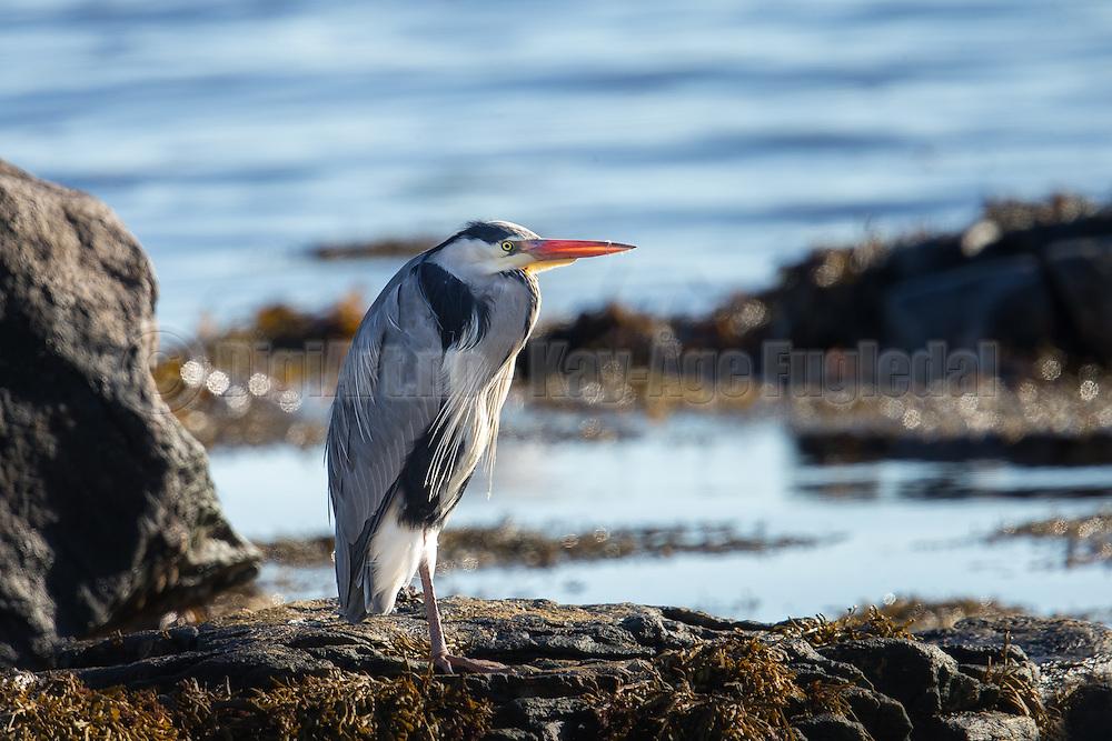 Grey Heron in a natural habitat, sitting in the shoreside and looking for food   Gråhegre i sitt naturlige habitat, sitter i fjøra og ser etter mat.