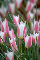 Tulipa 'Lady Jane' AGM