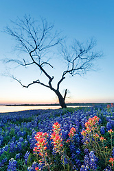 Lone tree and field of Indian paintbrush (Castilleja indivisa) and bluebonnets (Lupinus texensis) at dusk near shore of Lake Bardwell, Ennis, Texas USA.