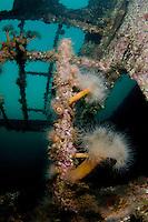 Plumose anemone, Metridium senile, on a ship wreck, close to Svolvaer, Lofoten, Norway,
