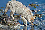 Coyote (Canis latrans) drinking from creek in Yellowstone National Park