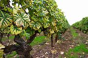 Old vines. Chateau Liot, Barsac, Sauternes, Bordeaux, France