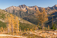 Subalpine Larches (Larix lyallii) in golden autumn color at Cutthroat Pass. Siver Star Mounrtain is in the distance. North Cascades Washington