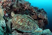 green sea turtle, Chelonia mydas, has sharksucker or remora, Echeneis naucrates, attached to shell, Sipadan Island, Malaysia ( Celebes Sea / Western Pacific Ocean )