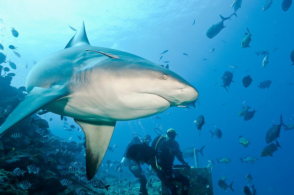 Scuba diver feeds a Bull Shark, Carcharhinus leucas, during a shark dive at the Shark Reef Marine Reserve offshore Pacific Harbor, Viti Levu, Fiji Islands.