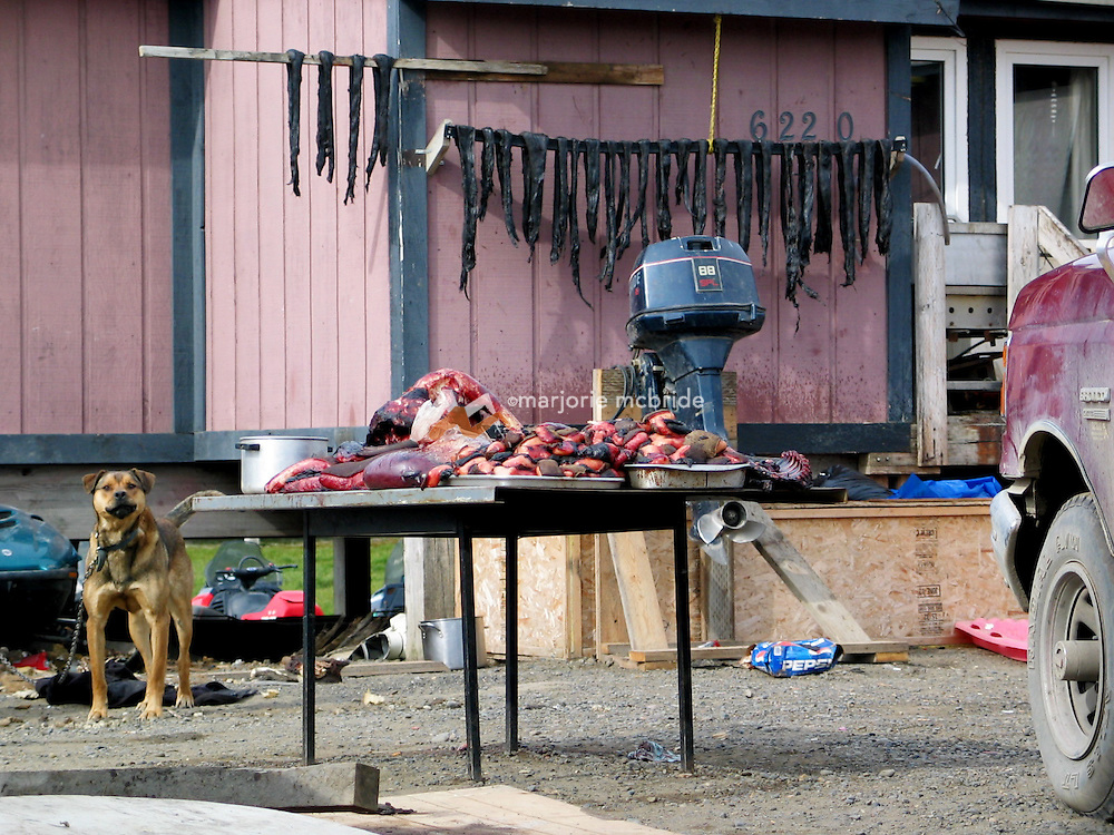 Dog protecting family catch of seal and whale meat near an Inupiat home in Barrow Alaska, the most northernly point in the USA.